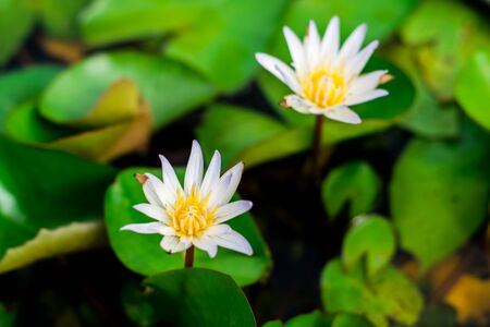 Lotus flower with green lotus leaf in the basin