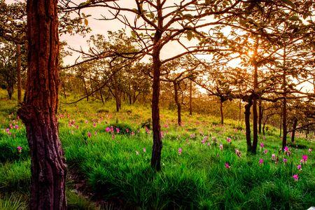 Sunset on Field Siam Tulip Flowers in National Park. Foto de archivo - 127566316