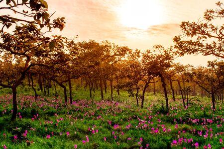 Sunset on Field Siam Tulip Flowers in National Park. Foto de archivo - 127562358