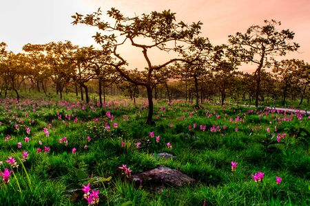 Sunset on Field Siam Tulip Flowers in National Park. Foto de archivo - 127562360