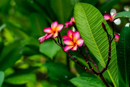 Red plumeria flowers on the tree with green leaves background Foto de archivo - 127562575