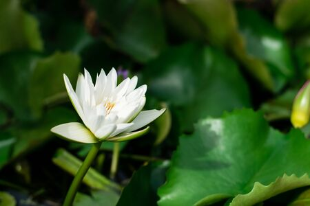 Lotus flower with green lotus leaf in the basin Foto de archivo - 127562581