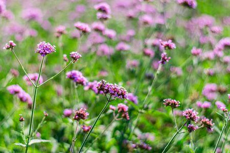 Violet verbena flowers in garden on nature background Foto de archivo - 127566322