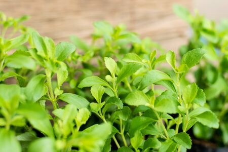 Stevia tree plant in the herb garden