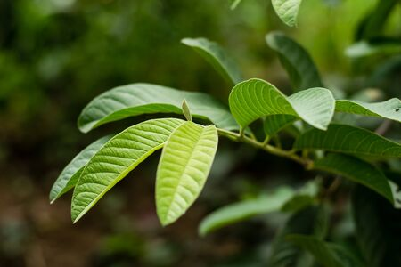 Green leaf guava on tree in the garden