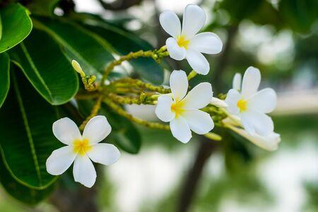 Beautiful plumeria flowers on tree in the garden Zdjęcie Seryjne