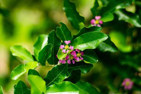 Barbados cherry, Malpighia glabra Linn flowers in nature garden