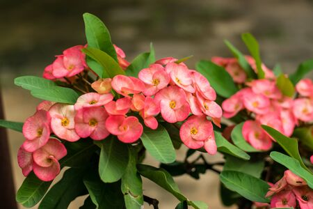 crown of thorns red flower on nature blossoming in the garden