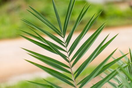 young date palm leaves in the garden