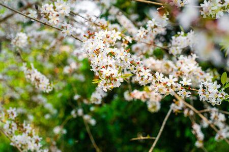 Guttiferae flower blossom on tree, Thai herb Zdjęcie Seryjne