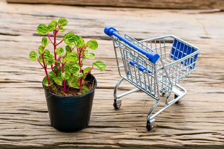 Iresine herbstii plant in a black pot with Mini Shopping Cart on an old wooden floor