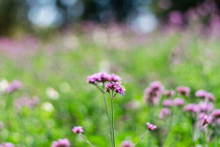 Violet verbena flowers in garden on nature background