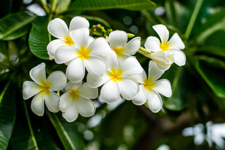 Beautiful plumeria flowers on tree in the garden 免版税图像