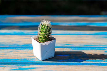 Small cactus in a white planting pot on a wooden table