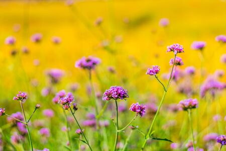 Colorfully verbena flowers and yellow cosmos flowers field background Banco de Imagens