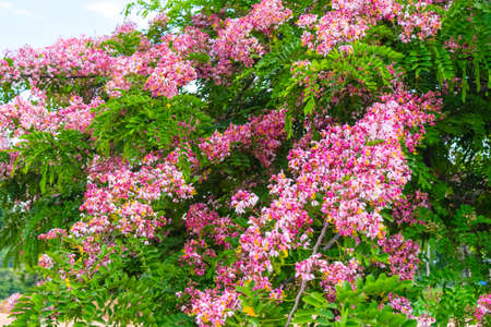 Pink flower of Wishing tree, pink shower, cassia bakeriana craib. Thailand.