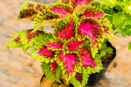 Coleus or Painted Nettle (Plectranthus scutellarioides) multicolored leaves plant.