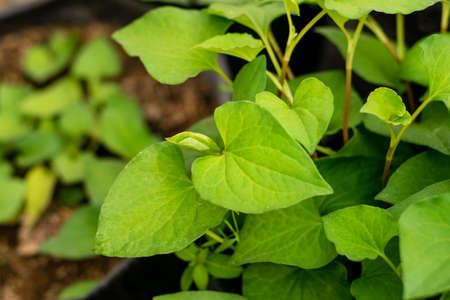 Plu Kaow herbs plant leaves in the garden background. Phlu Khao or Houttuynia cordata Thunb herbal vegetable agriculture. 免版税图像