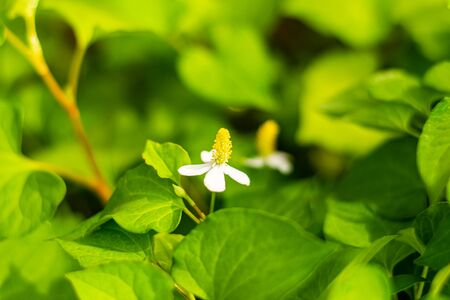 Plu Kaow flower(Houttuynia cordata Thunb ) in the garden, Thai herbs Stock fotó
