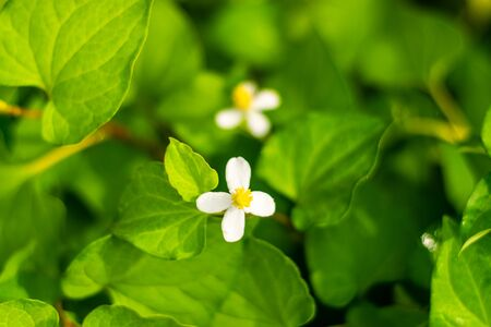 Plu Kaow flower(Houttuynia cordata Thunb ) in the garden, Thai herbs 免版税图像