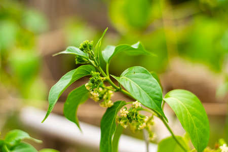 Gurmar medicinal plant with flowers for diabetes in the garden