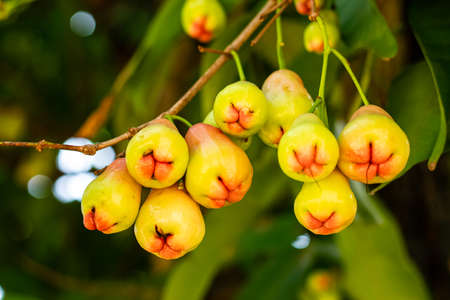 Rose apples on tree in orchard,Thailand