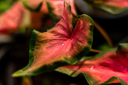 Dew drops on the leaves of Caladium bicolor in the garden.