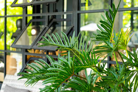 Philodendron xanadu air purification plants in cafes