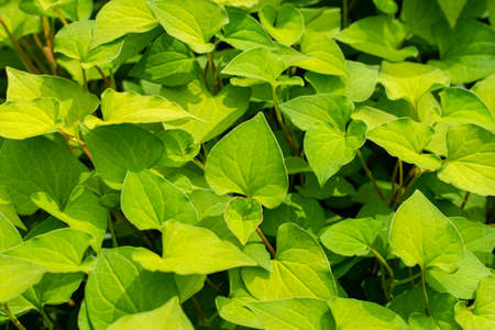 Green leaves of Plu kaow, in the garden background. Phlu Khao or Houttuynia cordata Thunb herbal vegetable agriculture. Stockfoto