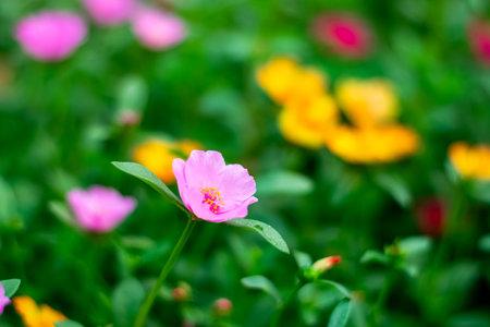Beautiful Common Purslane flowers in the garden