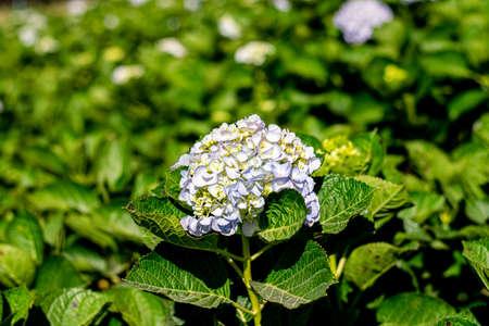 Beautiful Hydrangea Flowers, Hydrangea flowers blooming in the garden. Stockfoto