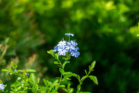 Cape leadwort,Plumbago auriculata in the garden