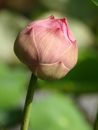 Close up of pink lotus flower bud in pond