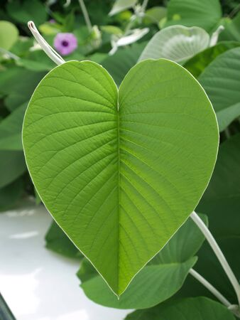 A Green  leaf  this is nature  beautiful