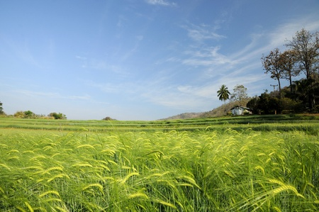 Green fields of barley at Chaingmai Stock Photo