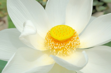 Close up of white lotus flower bud in pond photo
