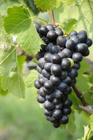 Bunch of Grapes with leaf on vineyard Stock Photo