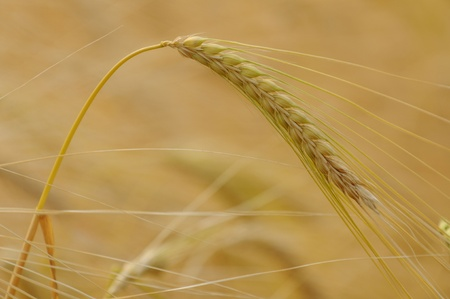 Close-up golden barley at Chaingmai photo