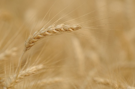 Close-up golden barley at Chaingmai Stock Photo - 12974727