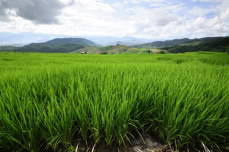 Rice Fields at Maechaem in Thailand photo