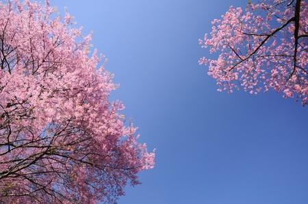 Pink Sakura blossom at Chiangmai
