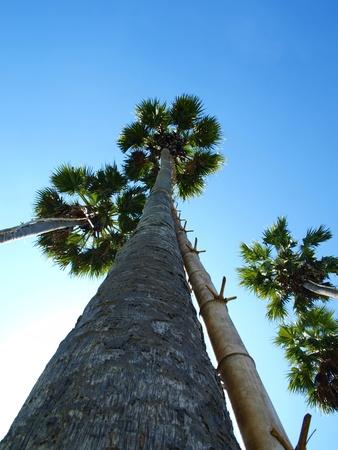 Sugar palm tree in Thailand
