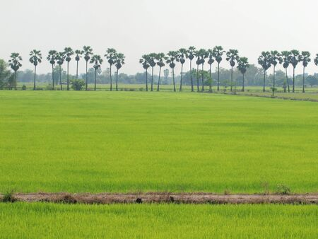Rice Fields in sunny morning at Thailand