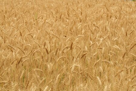 Fields of golden barley at Samerng Rice Research Center  Stock Photo