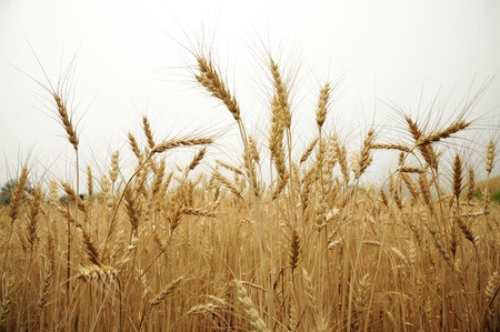 Fields of golden barley at Samerng Rice Research Center Stock Photo - 13056444