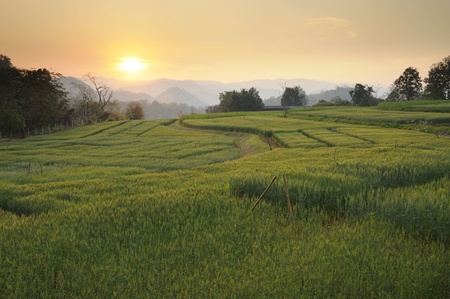 Sunset at fields of green barley Stock Photo