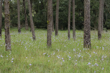 Flowers in the Pine forest at Phusoidao