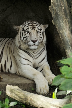 White Tiger lying down in cave photo