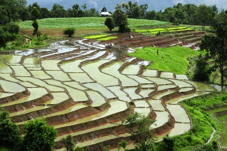 rice terrace: Rice Terrace at Maechaem in Thailand