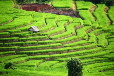 arroz: Rice Terrace at Maechaem en Tailandia